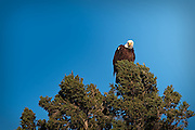 An Eagle considers the next meal as it scans the lakeshore in the Canadian Shield