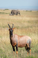 Topi, Damaliscus lunatus jimela, in Maasai Mara National Reserve, Kenya. An adult and calf African Elephant, Loxodonta africana, pass by in the background.