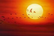 Snow Geese Flying into Setting Sun, Gray Lodge Wildlife Area, California