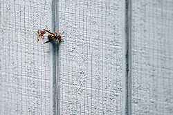 25 May 2005:   a wasp travels horizontally along the vertical wood siding of a suburban home in the midwest.