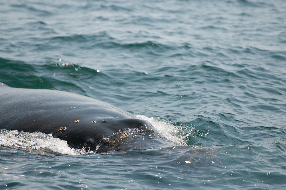 A mother and baby humpback whale (Megaptera novaeangliae) swim in the Bay of Fundy, while on a whale watching trip with Whales-n-Sails on Grand Manan Island, New Brunswick, Canada. Photo by William Drumm.