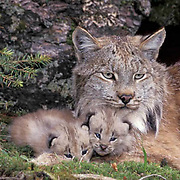 Canada Lynx, (Lynx canadensis) Adult with young. Rocky mountains.  Montana. Captive Animal.