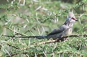 A blue-naped mousebird (Urocolius macrourus) in a thorny acacia shrub. Sinya Wildlife Management Area, Tanzania.