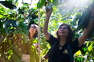 Lorie Obra, owner of Rusty's Hawaiian Coffee, and her daughter Joan Obra, picking coffee beans, known as cherry, and at her coffee farm in an area called Cloud Rest in the district of Ka'u on the Big Island of Hawaii, USA, America