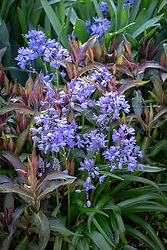 Possibly Scilla / Chionodoxa lucilae The Giant ?? Needs checking