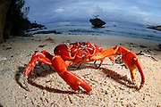 Christmas Island red crab (Gecarcoidea natalis). Photographed off Christmas Island, Australia, in the Indian Ocean.