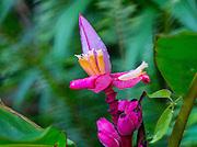 Banana Flower. Lyon Arboretum. Manoa Valley; Honolulu; Oahu; Hawaii