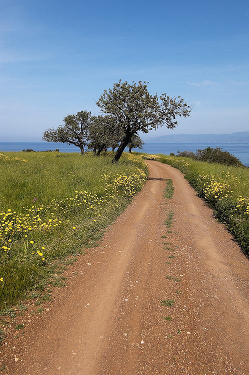 Carob or St. John´s bread and a road, Akamas Peninsula, Cyprus