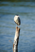 Black-crowned Night Heron (Nycticorax nycticorax) perched on an old post in Lake Chapala, Ajijic, Jalisco, Mexico