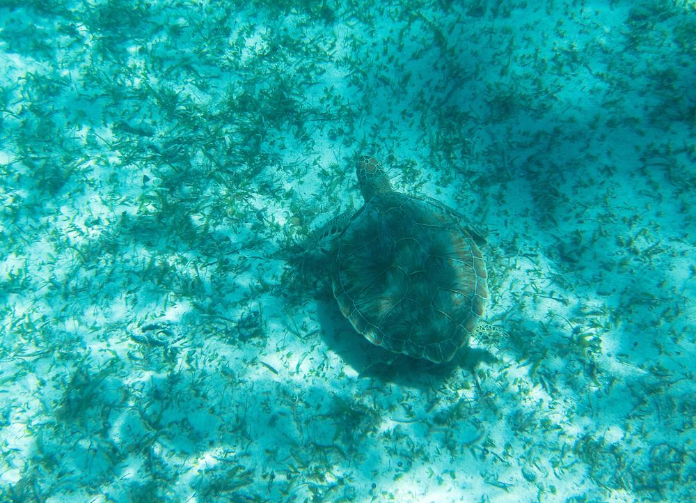 Hol Chan, Belize 8/31/2012.A sea turtle at the Hol Chan Marine Reserve..Alex Jones / www.alexjonesphoto.com