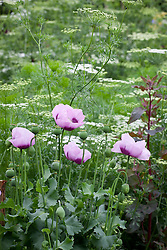 Opium poppies, Papaver somniferum, with Atriplex hortensis and Ammi majus
