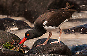 American Oystercatcher<br /> Haematopus palliatus<br /> Punta Suarez, Española (Hood) Island<br /> Galapagos Islands, ECUADOR.  South America