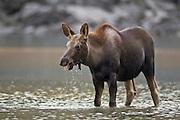Moose in pond in Jasper National Park, Alberta Canada