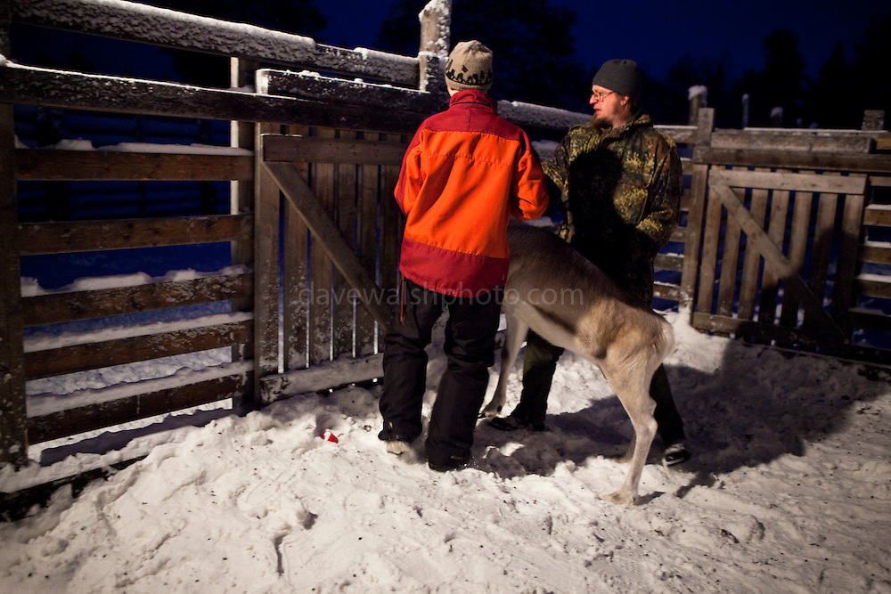 Matti Aikio and Matti Ikonen lead a reindeer roundup at Vuomaselkä, Lapland, where semi-domesticated deer are sorted and seperated for breeding, slaughter, returned to their owners, injected for parasites, or released back into the forest.