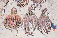 Octopus drying in the sun as a staple diet, Vamizi Island, Mozambique