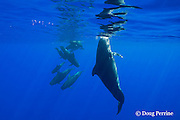 pod of short-finned pilot whales, Globicephala macrorhynchus, with inquisitive female hanging vertically in foreground, South Kona, Hawaii, U.S.A. ( Central Pacific Ocean )