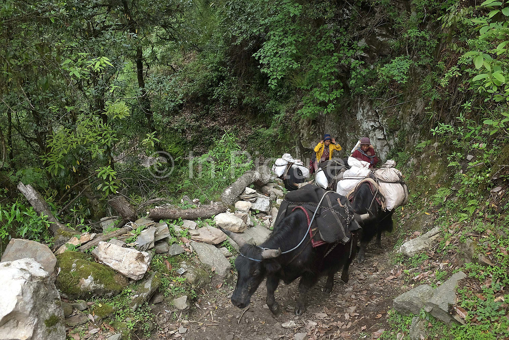 Brokpa herdsmen carrying supplies to the remote and roadless village of Saktieng using cows and yaks. As virtually nothing grows in Merak and Sakteng, the Brokpas trade their butter, cheese and yak meat with neighbouring villages for daily necessities.