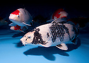 "shiro utsuri variety Koi (Japanese: literally ""brocaded carp""), are ornamental domesticated varieties of the common carp (Cyprinus carpio) that are kept for decorative purposes in outdoor koi ponds or water gardens. Koi are among the longest-living vertebrates, with some animals living over 200 years. Koi varieties are distinguished by colour, patterns, and scales. The most popular category of koi is the Gosanke, which is made up of the Kohaku, Taisho Sanshoku, and Showa Sanshoku varieties.Photographed at the handpick pools at Kibbutz Maagan Michael aquaculture breeding farm, Israel"