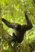 An Eastern Hoolock Gibbon (Hoolock leuconedys) adult male in a tree.