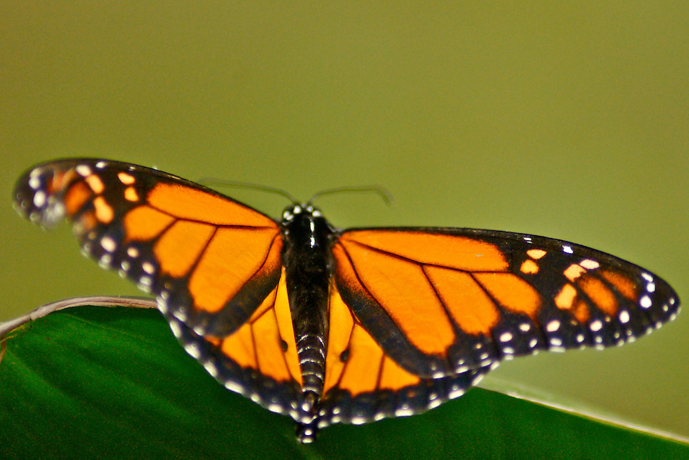 Monarch butterfly, Costa Rica rain forest, Santa Elena butterfly garden Costa Rica