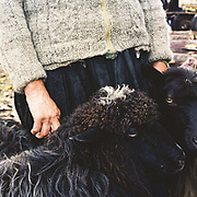 A peasant farmer wearing a hand knitted woollen cardigan stands with two sheep at Bogdan Voda market, Maramures, Romania. Whereas in most countries sheep are reared for wool and meat, in Romania these are seen as by-products and the real purpose of the flock is to produce branza or cheese.