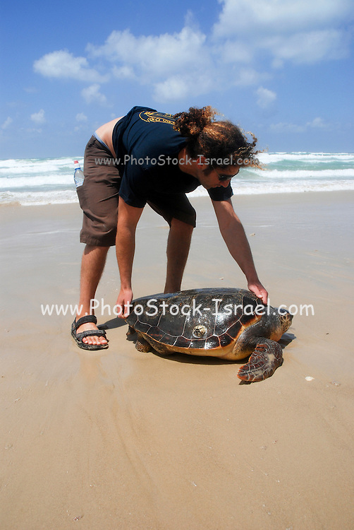 Israel, Volunteer returns large Green Sea Turtle (Chelonia mydas) to sea