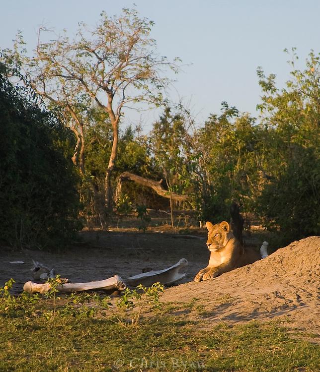 Lioness, Chobe National Park, Botswana