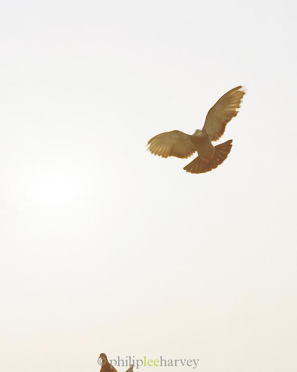 Pigeon in flight, Lucknow, Uttar Pradesh, India