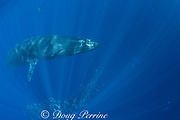 Bryde's whale, Balaenoptera brydei or Balaenoptera edeni, swims over a bait ball of sardines, off Baja California, Mexico ( Eastern Pacific Ocean ); California sea lion and striped marlin in background