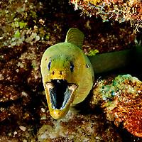 Green Moray Eel, Gymnothorax funebris, Ranzani, 1840, Grand Cayman