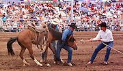 05 AUGUST 2000 - WILLIAMS, AZ: A team of cowboys try to saddle a wild horse during the wild horse race at the 22nd Annual Cowpunchers' Reunion Rodeo in Williams, Arizona, Aug 5. In the wild horse race, a team of cowboys wrestle a horse that has never had a saddle on it to the ground, saddle the animal and ride it across the finish line in the rodeo arena.  The Cowpunchers' Reunion Rodeo is held for working cowboys from the ranches in Arizona and the region. PHOTO BY JACK KURTZ