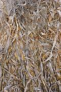 Vertical closeup of corn husks in fall