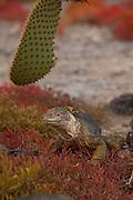 Male land Iguana (Conolophus subcristatus), surrounded by orange sesuvium plants (Sesuvium edmondstonei) on South Plaza Island. Galapagos Archipelago, Ecuador.