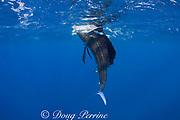 Atlantic sailfish, Istiophorus albicans, attacking bait ball of Spanish sardines (aka gilt sardine, pilchard, or round sardinella ), Sardinella aurita, off Yucatan Peninsula, Mexico ( Caribbean Sea ) #3 in sequence of 3 images (dm)
