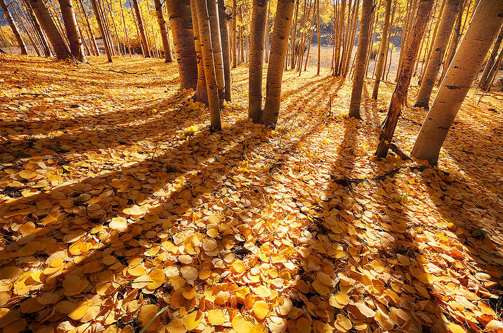 Aspen shadows float softly on a sea of sunshine and leaves.