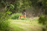 Large deer photographed from a distance in the Corkscrew Swamp in Collier County. The largest deer in South Florida can be seen here.