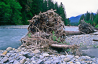 Large tree trunks lie along the Hoh River after they were uprooted during the winter flooding.     Olympic National Park, Washington.