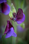 Lathyrus odoratus - wild form - sweet pea