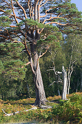 Caledonian forest tree Scotland Scotch pine
