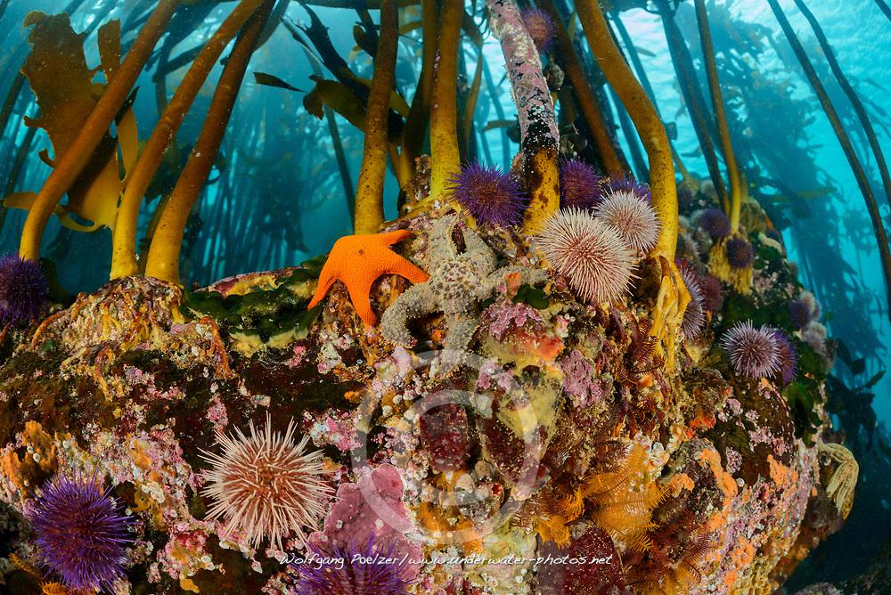 Ecklonia maxima, Tang oder Kelpwald mit Seeigel, Kelp or Kelpforest with Sea urchin and Sea star, False Bay, Simons Town, Suedafrika, Indischer Ocean, False bay, Simons Town, South Africa, Indian Ocean