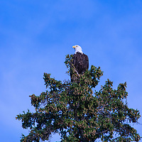 A blad eagle (Haliaeetus leucocephalus) perches in a tree by Lake of the Woods, Ontario, Canada.