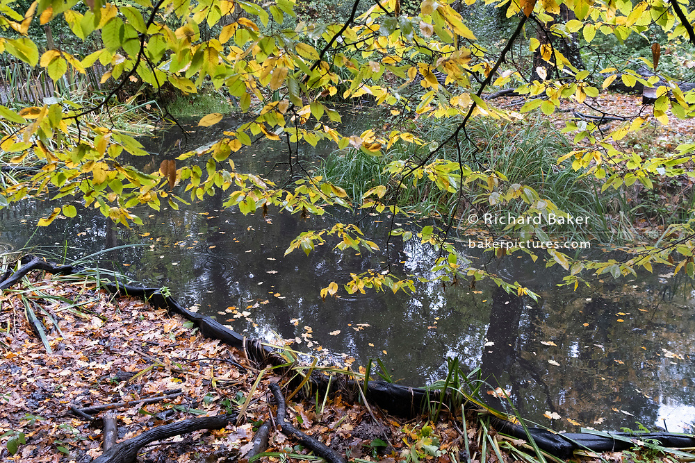 Autumn leaves by a pond in a woodland landscape in Sydenham Hill Woods, on 25th October 2020, in London, England. Sydenham Hill Wood forms part of the largest remaining tract of the old Great North Wood, a vast area of worked coppices and wooded commons that once stretched from Deptford to Selhurst. The wood is home to more than 200 species of trees and plants as well as rare fungi, insects, birds and woodland mammals.
