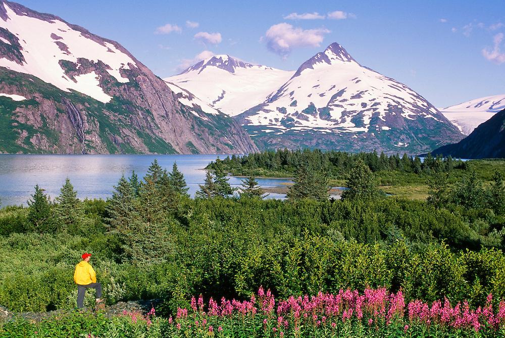 Alaska. Portage. Viewing Portage Lake and glacier on summer day.  Fireweed (epilobium angustifolium) blooming. MR