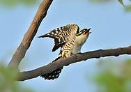 Diederik Cuckoo - Chrysococcyx caprius