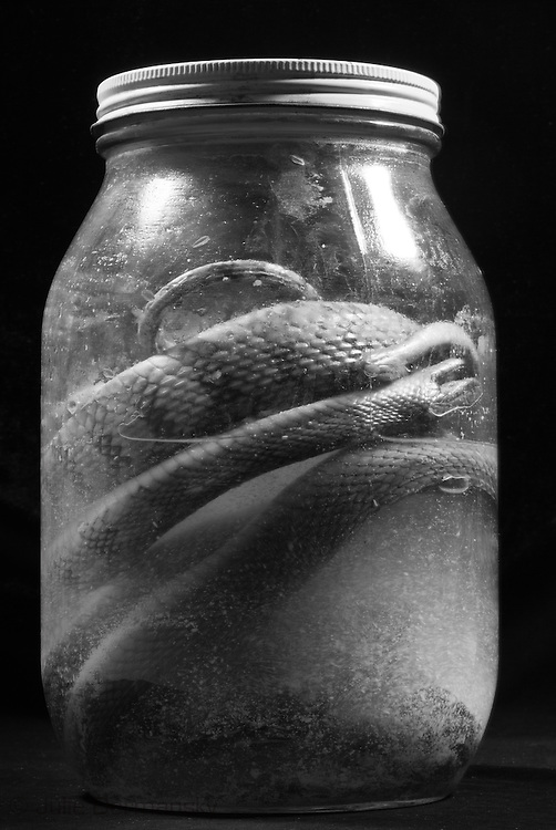 Snakes in a jar, part of the reptile collection at the Tulane Natural History Museum.