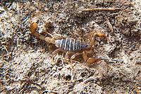 Typically high-strung and aggressive, this large northern scorpion (Paruroctonus boreus) is perhaps the biggest I've ever seen at just over 4cm in length and the only one that ever let me touch it without trying to sting me. I found this one near Lake Lenore at the base of some basalt cliffs under a rock in rural Grant County, Central Washington.