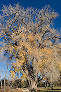 Vertical of cottonwood half bare in fall