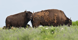 A bison rubs against another bison at the 10,894-acre Tallgrass Prairie National Preserve located in the Flint Hills of Kansas in Chase County near the towns of Strong City and Cottonwood Falls. These bison are losing their winter coat to help them stay cool. Birds use spent bison hair to line their nests. In October 2009, the Tallgrass Prairie National Preserve brought 13 genetically pure bison from Wind Cave National Park in South Dakota. The preserve plans to add more bison from Wind Cave with a final herd size between 75 and 100 bison. Tallgrass Prairie National Preserve is the only unit of the National Park Service dedicated to the preservation of the tallgrass prairie ecosystem. The Tallgrass Prairie National Preserve is co-managed with The Nature Conservancy.
