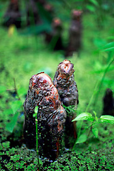 02 June 2014. Jean Lafitte National Historic Park, Louisiana.<br /> Cypress knees in the swamp at the Barataria Preserve wetlands south or New Orleans.<br /> Charlie Varley/varleypix.com