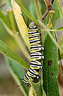 This caterpillar will soon become a monarch butterfly.